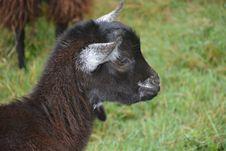 Free Goats, Goat, Horn, Terrestrial Animal Royalty Free Stock Photos - 100832388