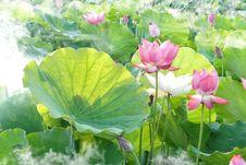 Free Flower, Plant, Lotus, Sacred Lotus Royalty Free Stock Image - 100832566