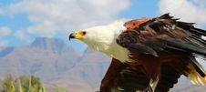 Free Bird Of Prey, Bird, Eagle, Beak Stock Images - 100834154