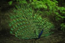 Free Peafowl, Ecosystem, Feather, Vegetation Royalty Free Stock Photo - 100834535