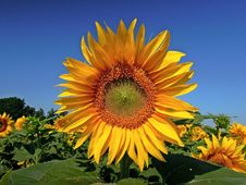 Free Flower, Sunflower, Flowering Plant, Sunflower Seed Stock Images - 100834644