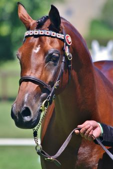 Free Horse, Bridle, Halter, Horse Harness Stock Photos - 100835313