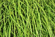 Free Grass, Vegetation, Grass Family, Plant Stock Photography - 100835582