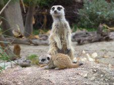 Free Meerkat, Mammal, Terrestrial Animal, Fauna Stock Photography - 100837232