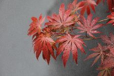 Free Leaf, Maple Leaf, Plant, Tree Royalty Free Stock Images - 100839939