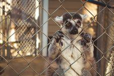 Free Lemur Behind Bars Stock Images - 100885244