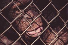 Free Spitting Monkey Royalty Free Stock Images - 100885379