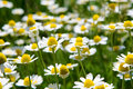 Free Daisy Flower Royalty Free Stock Image - 10094316