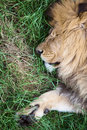 Free Lion Stock Image - 10095261