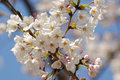 Free Cherry Blossom Close-up Stock Images - 10097564