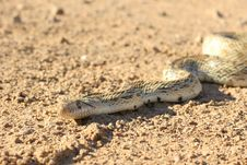 Free Gophersnake From Head To Midbody Stock Photos - 10090633