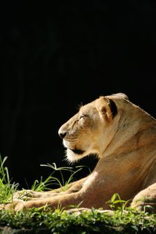 Free Lioness Side Portriat Royalty Free Stock Images - 10091419