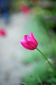 Free Red Tulip Stock Photography - 10093122