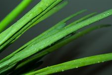 Free Green Onions Royalty Free Stock Photography - 10093897