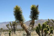 Joshue Trees In Mojave Desert, California Stock Photos