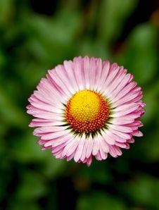 Free A Wild Chrysanthemum Stock Images - 10094054