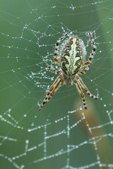Free Oak Spider (Aculepeira Ceropegia) Royalty Free Stock Photos - 10095078