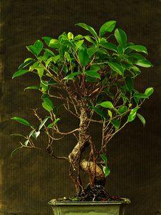 Free Bonsai Stock Photos - 10095743
