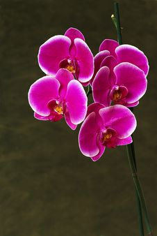 Free Pink Orchid On Neutral Background Stock Photos - 10095763