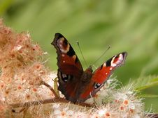 Free Peacock Butterfly Stock Images - 10097304