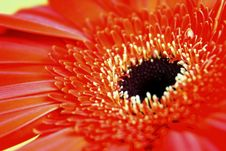 Free Red African Daisy Stock Photo - 10097590