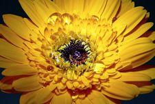 Free Yellow African Daisy Stock Photos - 10097643