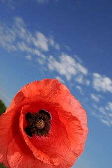 Free Poppy Stock Images - 10098424