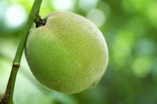 Free Green Peach Royalty Free Stock Photography - 10098717