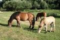 Free Three Horses Royalty Free Stock Photos - 1010268