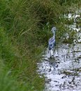 Free Juvenile Little Blue Heron Stock Photo - 1015770