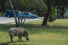 Free Parking Warthog Royalty Free Stock Photo - 1010135