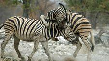 Free Zebra Vampire Royalty Free Stock Photography - 1010277