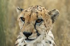 Free Cheetah Portrait Royalty Free Stock Photography - 1010397