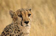 Free Brown Cheetah Eyes Royalty Free Stock Images - 1010399