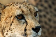 Free Cheetah Closeup Stock Photo - 1010440