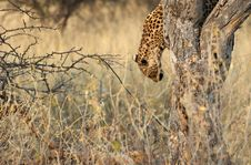 Free Leopard Down The Tree Stock Images - 1010514
