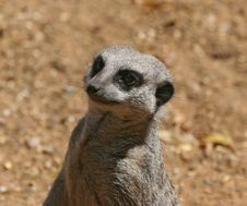 Free Meerkat Portrait Stock Photos - 1010623