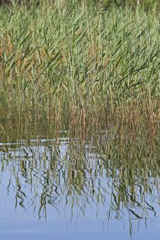 Free Reeds & Reflections Royalty Free Stock Images - 1011069