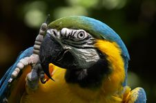 Free Blue And Gold Macaw, Ara Ararauna Stock Image - 1011441