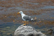 Free Seagull Stock Photo - 1011640