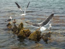 Free Seagulls Stock Image - 1011641