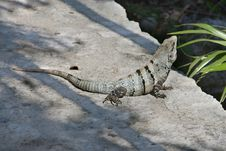 Free Lizard Stock Images - 1012124