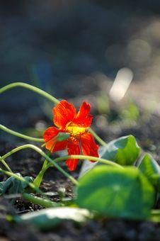 Free Flowering Crop Stock Image - 1013021