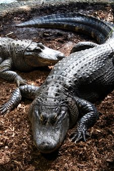 Free Crocodiles Stock Images - 1013064