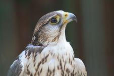 Free Hawk Stock Photo - 1013180