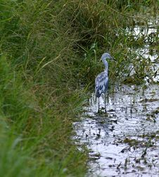 Free Juvenile Little Blue Heron Stock Photo - 1015770