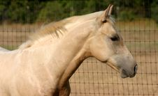 Free Palomino Colt Stock Photography - 1015852