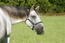 Free Gray Horse Royalty Free Stock Photography - 1015937