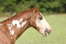 Yawning Paint Colt Royalty Free Stock Photos