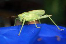 Free Locust Stock Image - 1016101